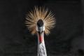 An Arican Crane