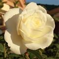 rose 101-1888