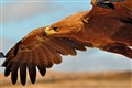 """Focused"" - Tawny Eagle - Aquila rapax"