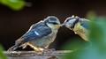 Bluetit feeding-