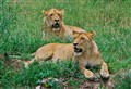 Wild African Lions in the Serengeti