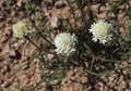 Very small and low-lying spring wildflowers on the Sonoran desert in Arizona.