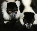 Fur - Lemurs