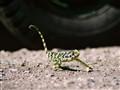 Chameleon - Tanzania Africa
