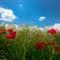 100513_poppies-6