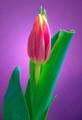 Soft Light Tulip