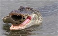 Gator Chomps A Croc
