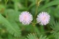 Twin flower heads