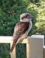 Kookaburra...paying his afternoon visit