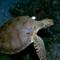 sea turtle (1)