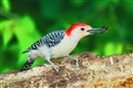 Red-Bellied Woodpecker with a Catch!