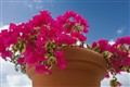 bougainvillea in a clay pot