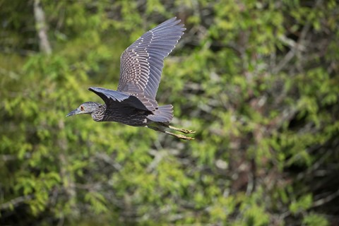 Night heron in flight - photo#55