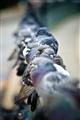London Doves
