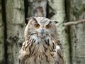 Eagle Owl 2004
