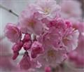 cherry-blossom4