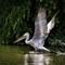 _MG_2072-Edit redL  Pellicano riccio, Dalmatian Pelican large