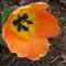 Tulip Time 3