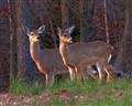 2 deer 914 sm