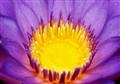 Purple + Yellow