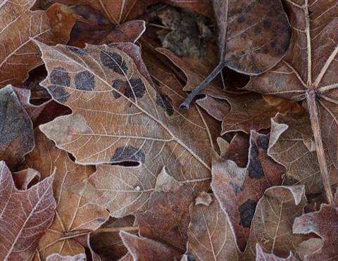 Elwha_FrostedLeaves_3XS_011012_reduced