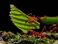 Leafe cutter ant