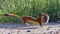 Weasel with Vole