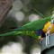 Rainbow Lorikeet crop