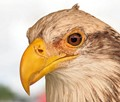 Bald head Eagle beak