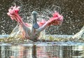 roseatte spoonbill enjoying bath in everglades eco pond
