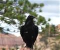 RavenCropped