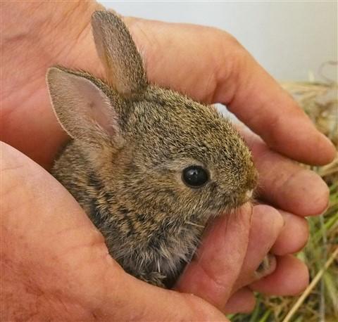 Baby Rabbit in Hands