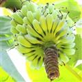 Nice Banana