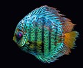 Discus fish