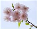 Sakura against the sky