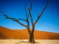 Dead acacia tree in Dead Vlei at Sossuvlei, Namibia. The dunes really are that orange colour at sunset.