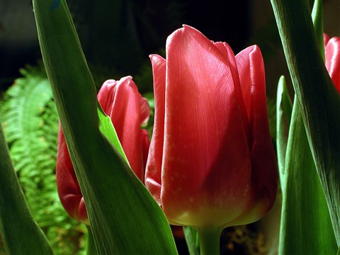 tulips in tungsten