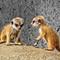 Merkat babies crop_3000