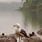 Lough Gill gull