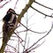 Great Spotted Woodpecker - Silkypixed RAW