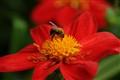 Great Dixter's garden bumblebee