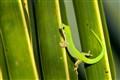 Green Gekko