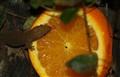 orange geko