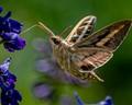 Sphynx Moth 1