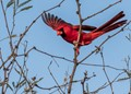 Arizona Cardinal (offseason)