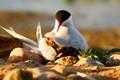 Tern & Chick