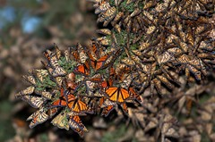 Monarch butterflies winter roost at Pismo Beach