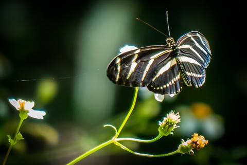 Cooperative Butterfly