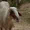 Goat: Unedited