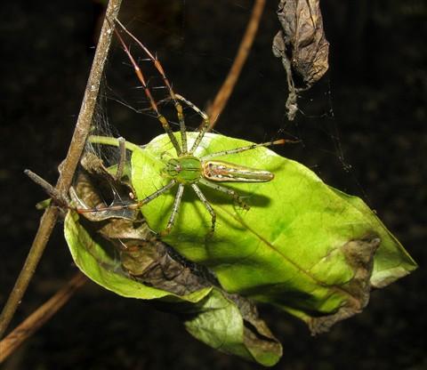 Madagascan Spider Belauka